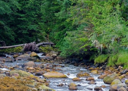 Khutzeymateen river grizzly WM