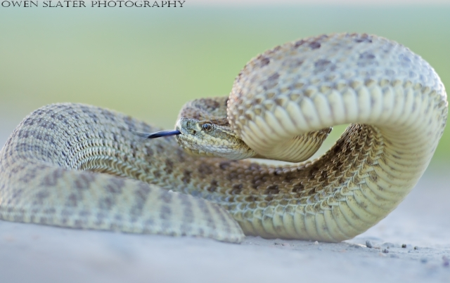 Prairie rattlesnake raised up WM