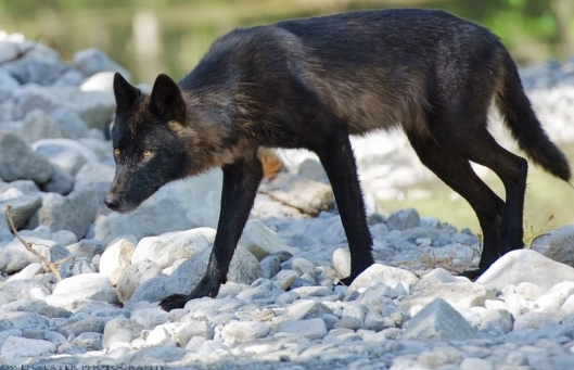 Wolf yearling creek crossing WM