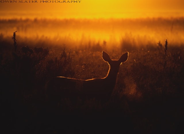 Backlit mule deer WM