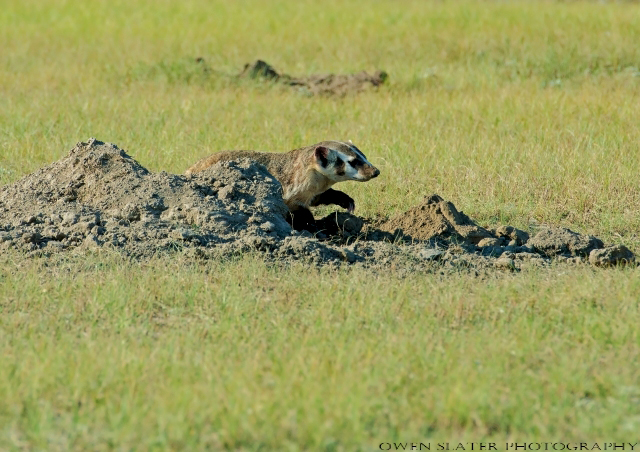 Badger filling burrow in WM