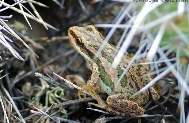Chorus frog and prickly pear cactus wm