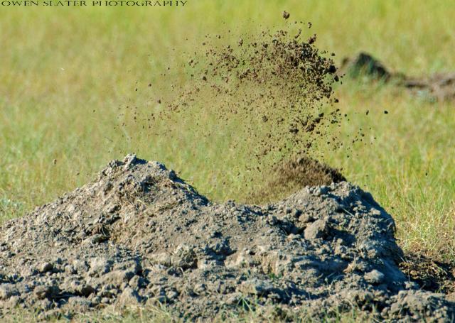 Dirt flying badger dig WM