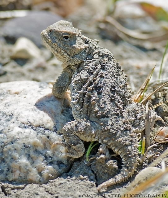 Short horned lizard looking back WM