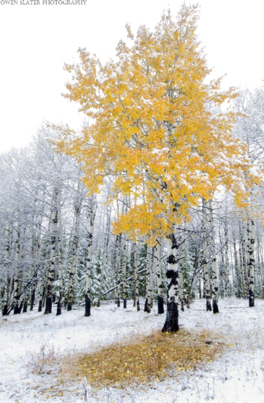 Aspen tree yellow leaves snow WM