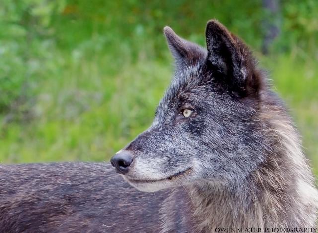 Wolf 2y old WM