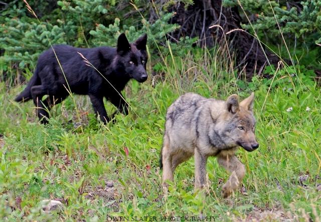Wolf pups 2013 WM