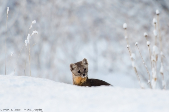 Pine marten hunting grass WM