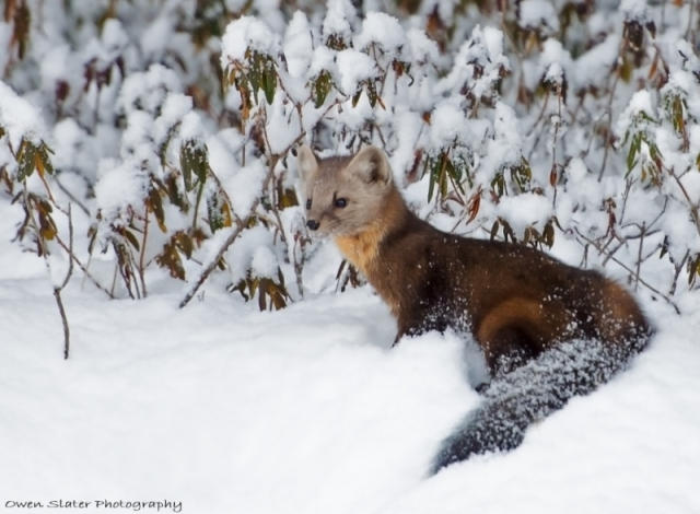 Pine marten looking back WM