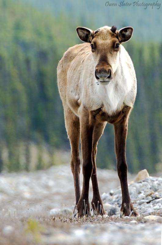 Caribou curious WM