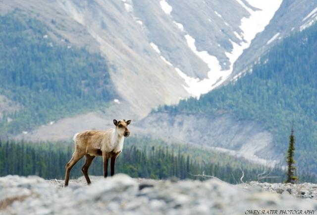 Caribou lone, mountain profile tree WM