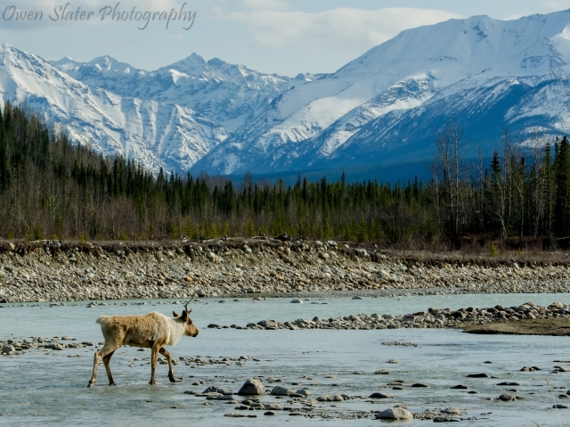 Caribou water mountains WM