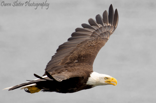 Bald eagle flight side black and white WM