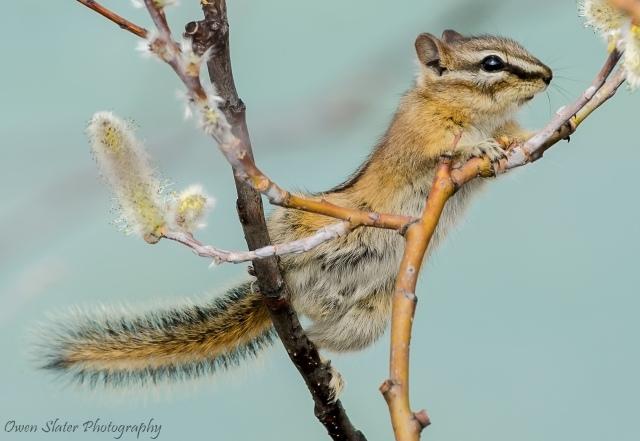 Chipmunk eating tree buds wm fb