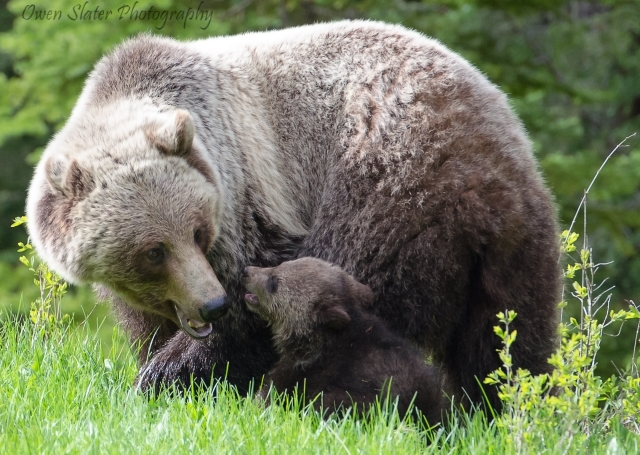 Grizzly cub and mom playing WM