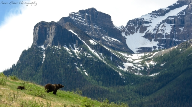 Grizzly mom and cub mountain landscape wm 960
