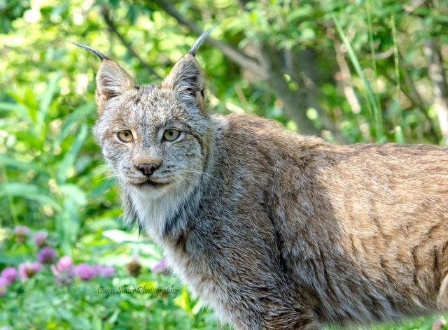 Lynx frontal cropped WM ss