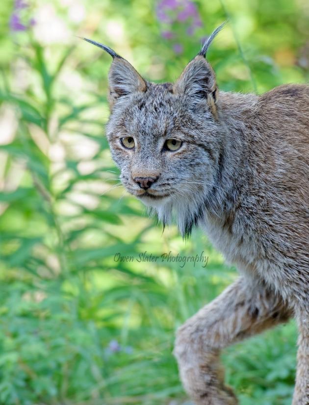 Lynx slink WM ss