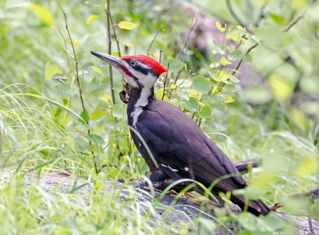 Pileated woodpecker 2 WM