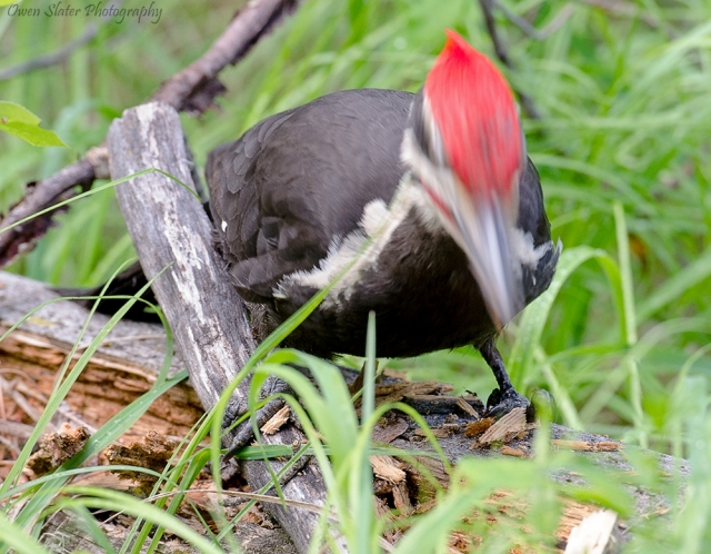 Pileated woodpecker motion WM