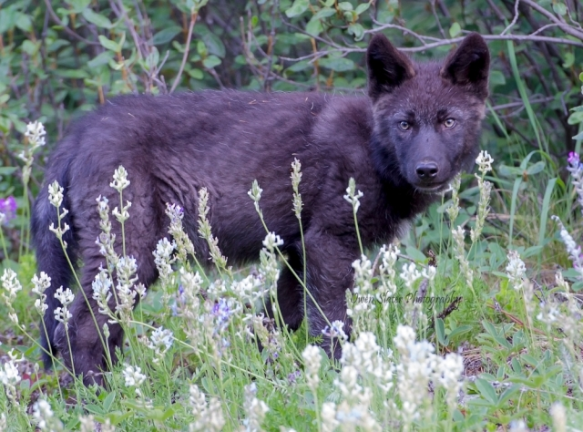 Wolf pup black 2014