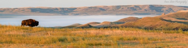 Bison Grasslands Fog Panoramic WM