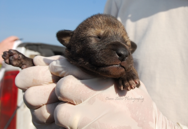 Red Wolf Pup WM