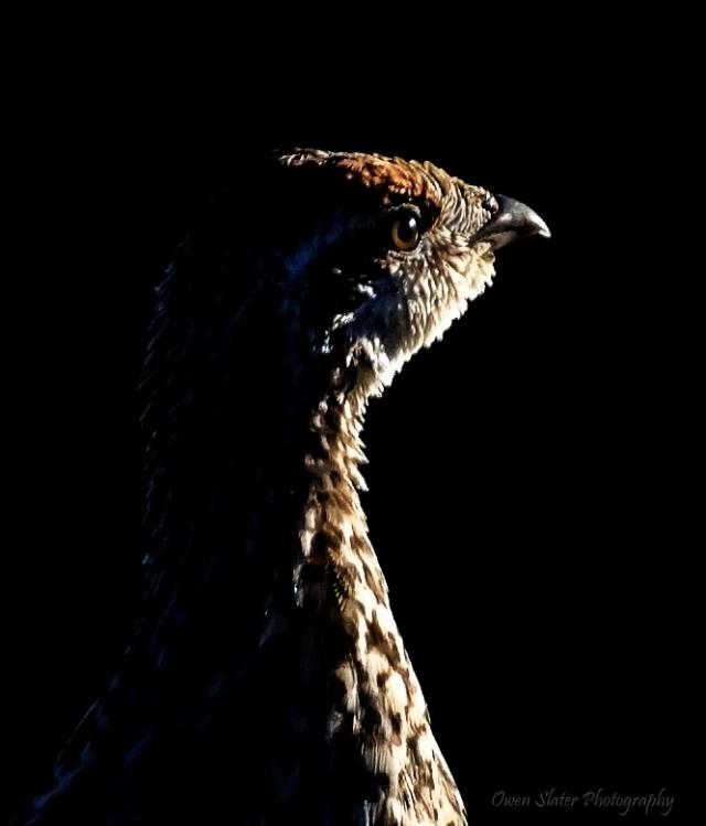 Sharp tailed grouse profile WM