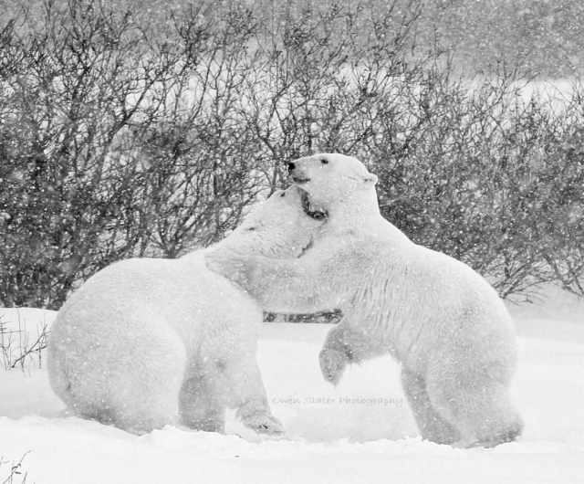 Polar bear play fighting B&W WM