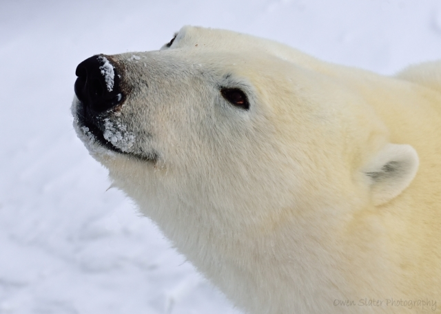 Polar bear smile WM
