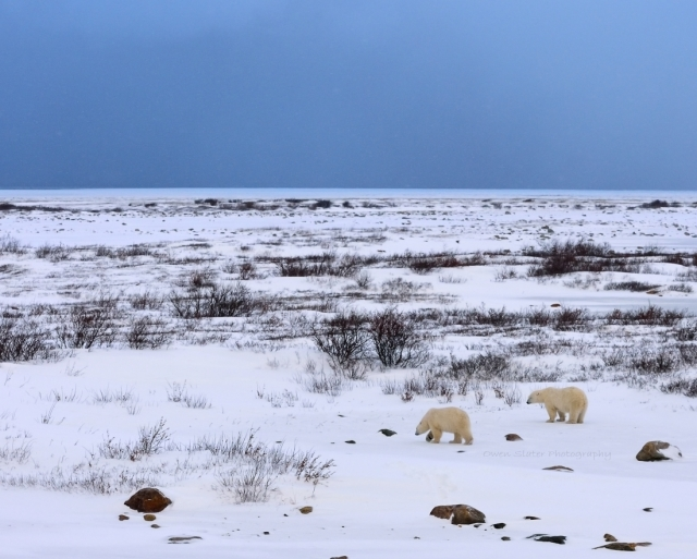 Polar bears and tundra landscape WM
