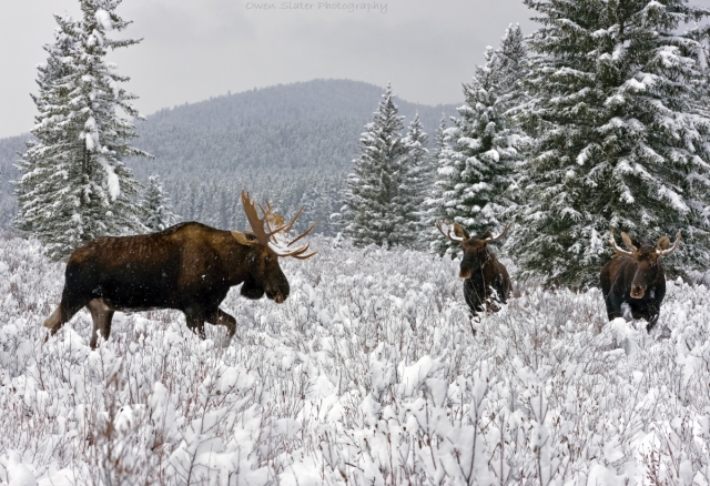3 male moose standing WM