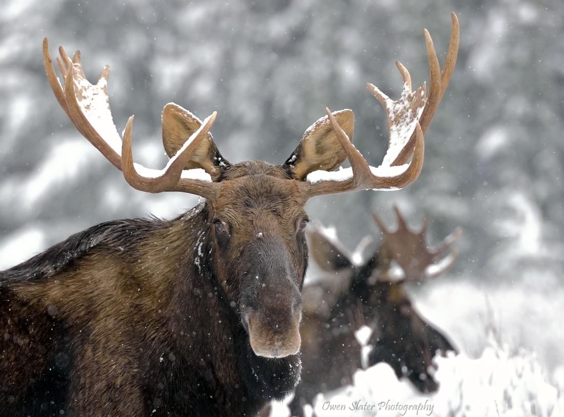 Moose | Owen Slater Photography