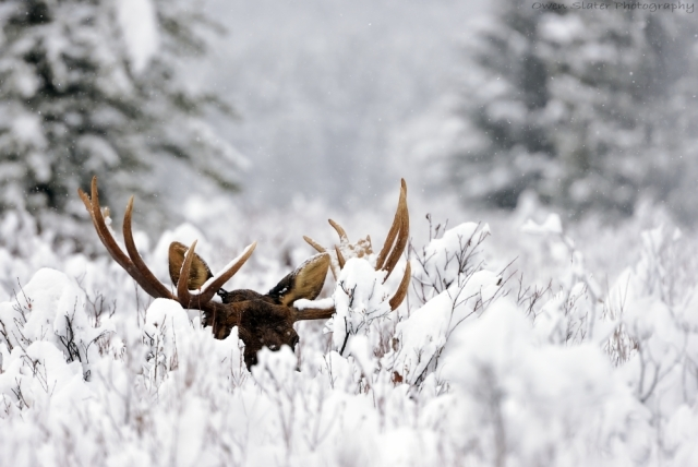 Moose antlers snow fall WM