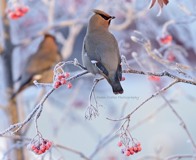 Waxwing morning frost WM