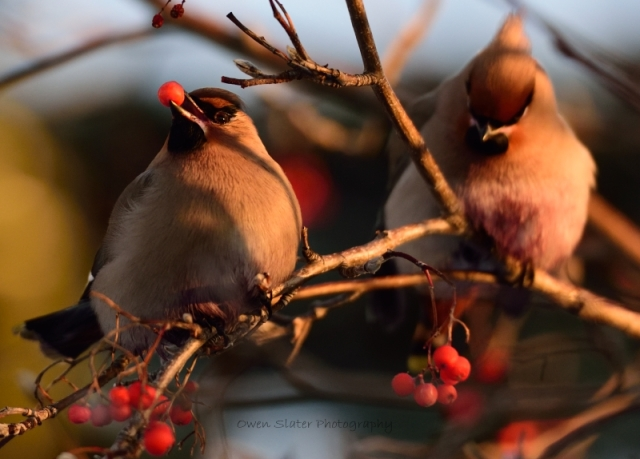 Waxwings feeding WM