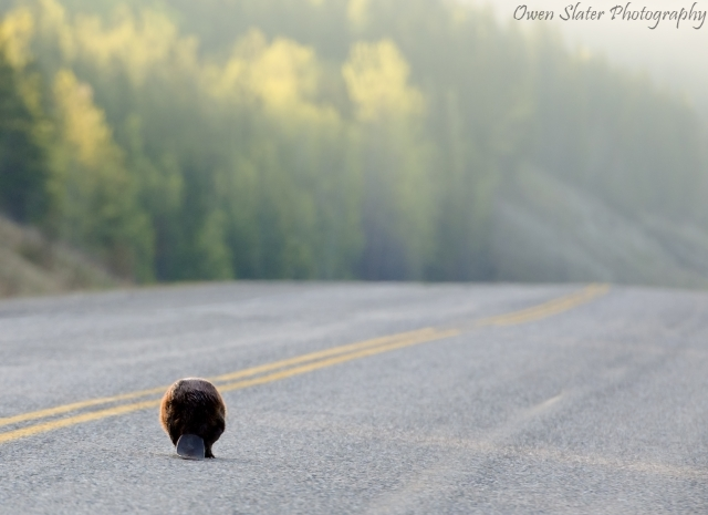Beaver walking down road WM