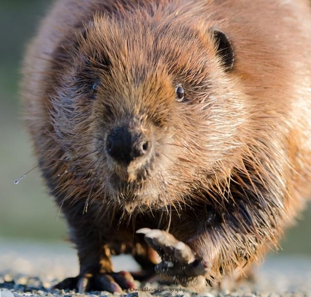 Charging Beaver WM