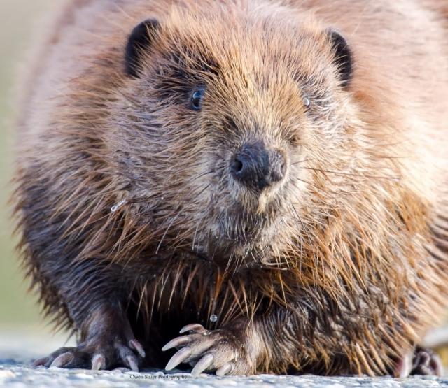 Road Beaver WM