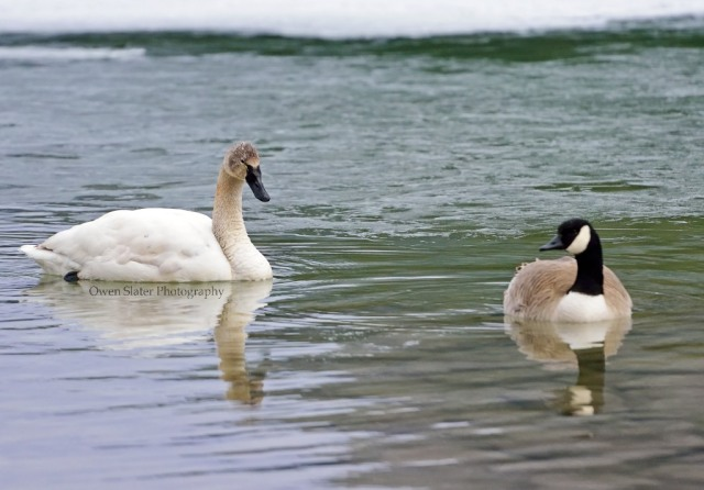 Tundra swan and Canada goose WM