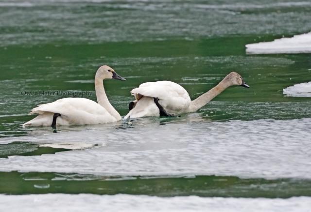 Tundra swan icebreaker WM