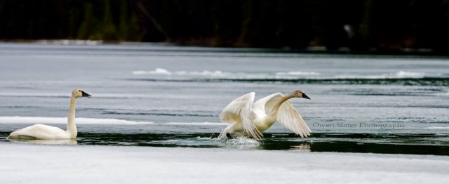 Tundra swans take flight WM