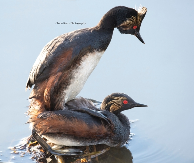 Eared Grebes mating WM