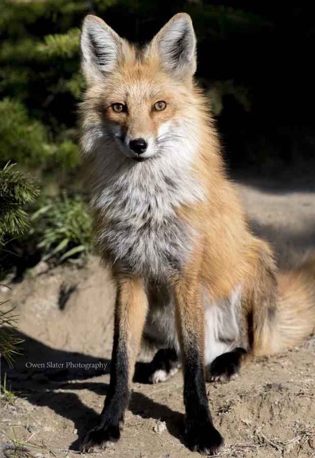 Foxy Vixen WM
