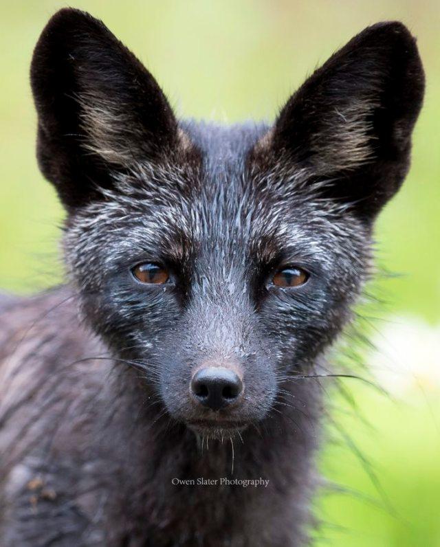Black fox portrait all ears WM