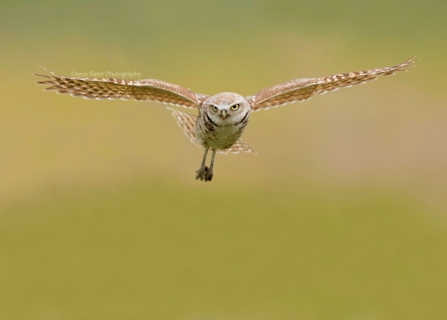 Burrowing owl flight forward WM