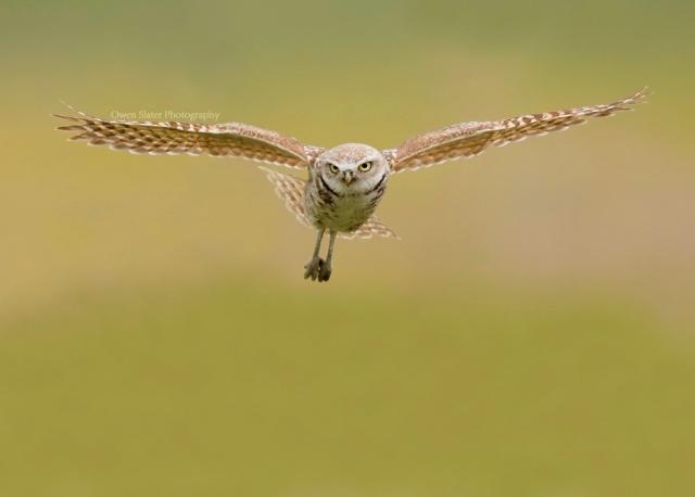 Burrowing owl flight forward WM