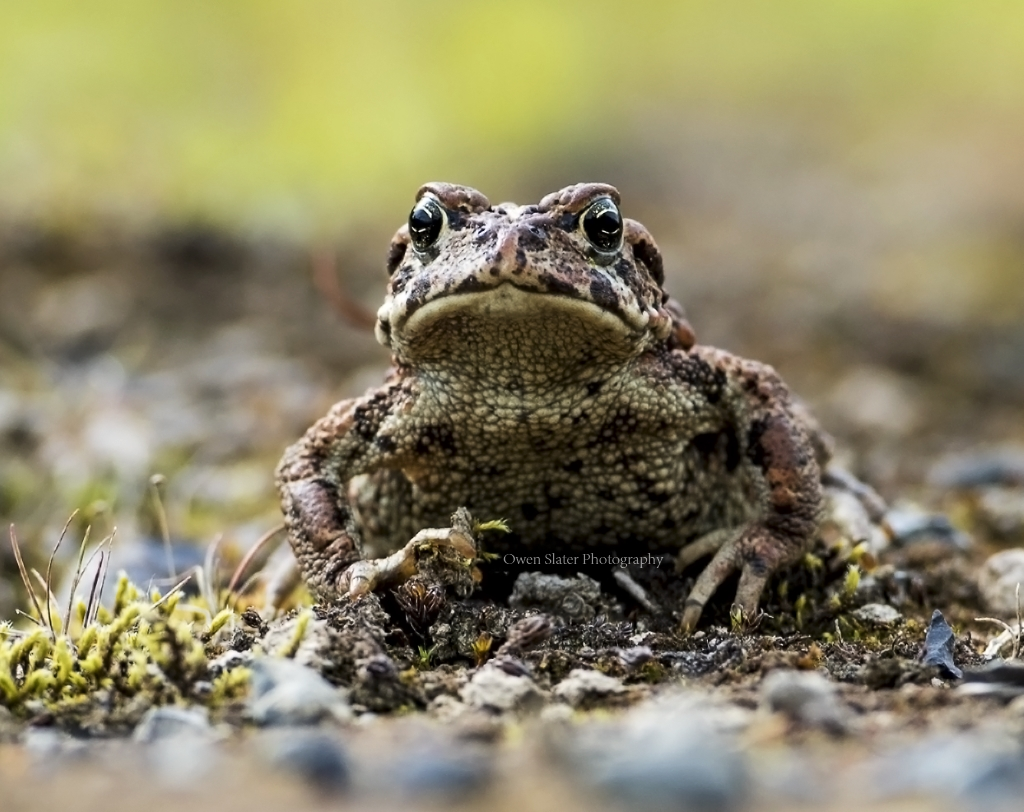 Toad time owen slater photography western toad ss wm sciox Image collections