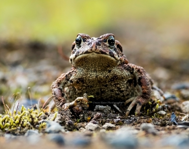 Western Toad ss wm