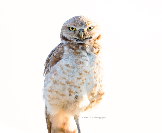 Burrowing owl art WM